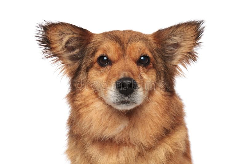 Close up of lovely brown furry dog with funny ears royalty free stock photos