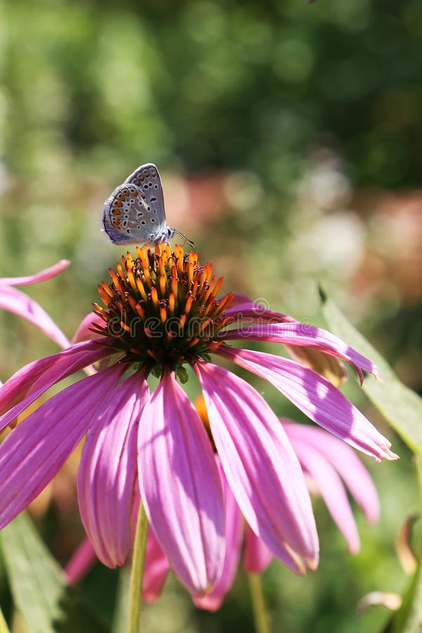 A close up of a lovely butterfly sitting on a beautiful purple flower in a sunny day stock images