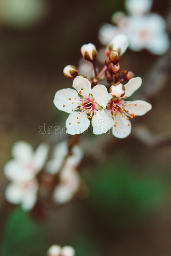 Close Up of Lovely Cherry Blossoms royalty free stock photos