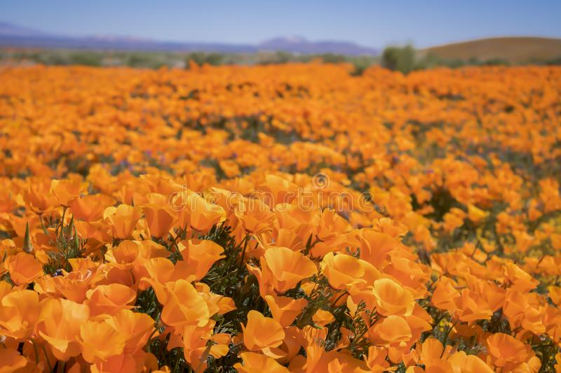 Close up low angle California Poppies in bright orange. Close up field of bright orange poppy wildflowers low angle in California desert stock image