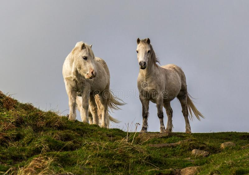 Close up from low angle of pair of wild white ponies royalty free stock photos