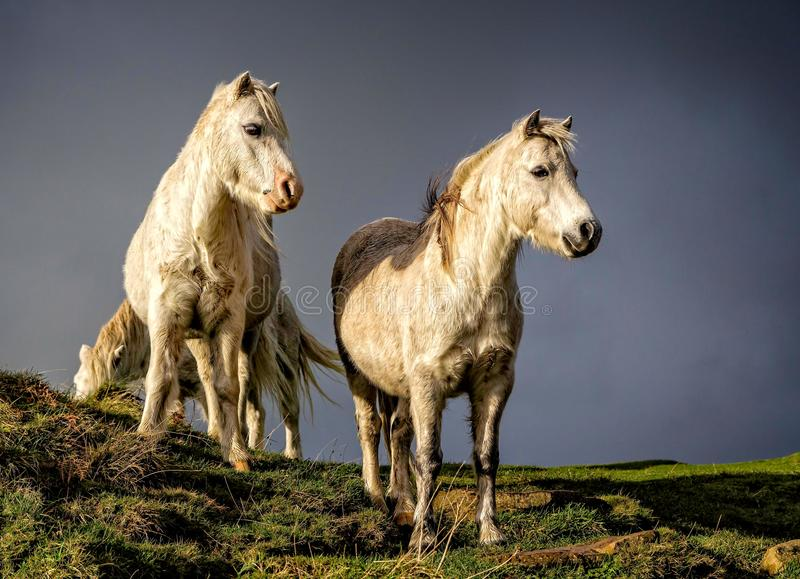 Close up from low angle of pair of wild white ponies royalty free stock image