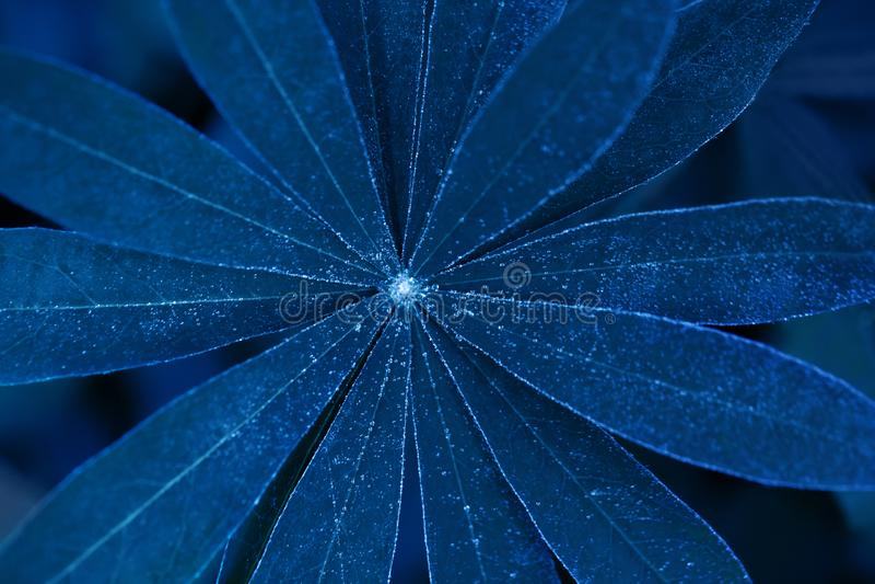 Close-up lupine da folha de néon azul bonita Textura floral e fundo Folha azul de incandescência do tremoceiro Imagem creativa imagens de stock royalty free
