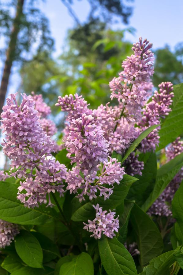 Close up of lush blooming sprig of wild forest lilac. Syringa lilac is a genus of 12 currently recognized species of flowering woody plants in the olive family royalty free stock photo