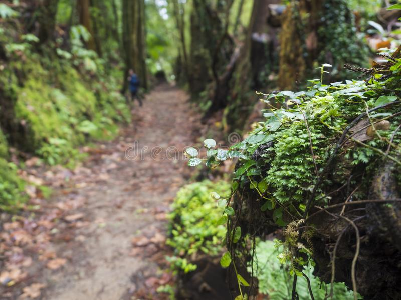 Close up of lush green tropical vegetaion ivy, moss and ferns on footpath at hiking trail in forest near furnas on Sao stock photography