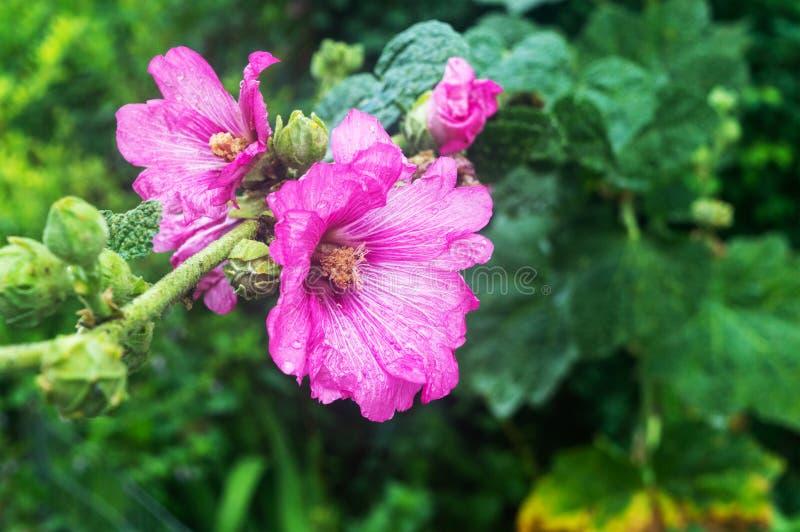Close-up luz - flores roxas no fundo de plantas verdes fotografia de stock royalty free