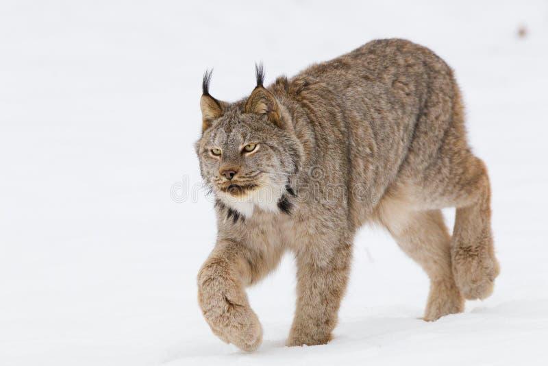 Close-up of lynx hunting prey stock photos