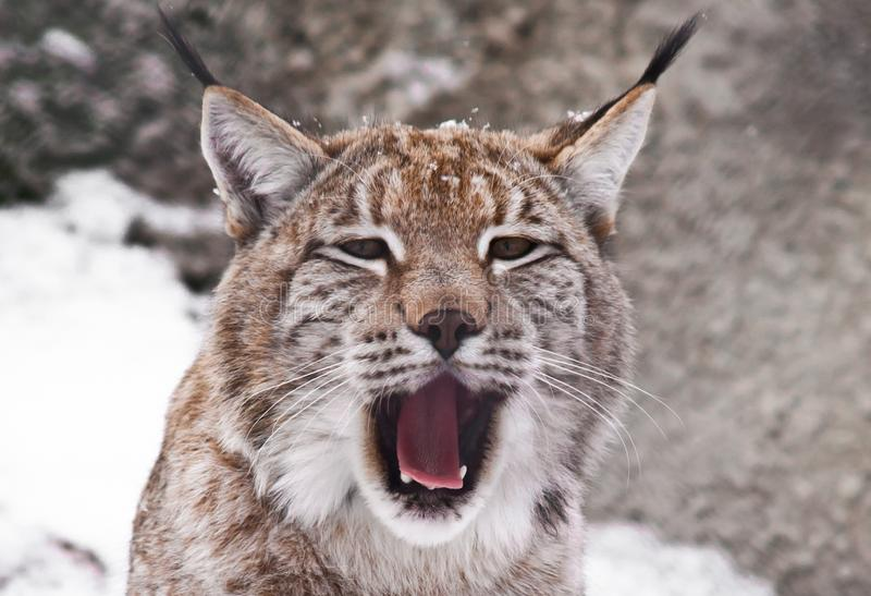 A close-up of the lynx`s head, a big cat yawns exposing the red mouth. The head of the lynx is a close-up, the big cat is yawning exposing the red mouth or is stock photo