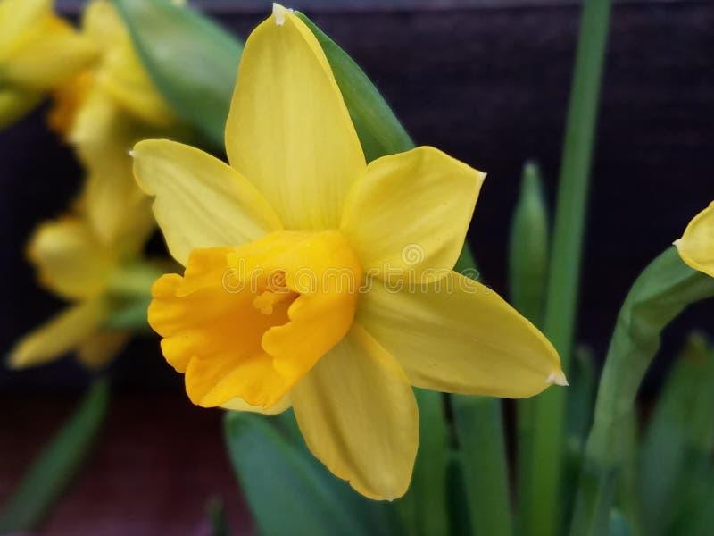 Close up macio do narciso amarelo do junquilho do narciso amarelo foto de stock royalty free