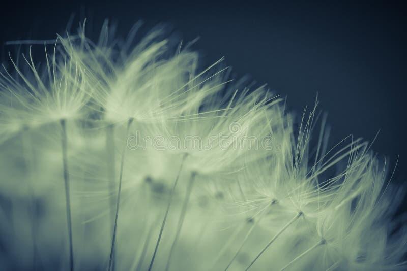 Close-up macio em algumas sementes do dente-de-leão imagens de stock royalty free