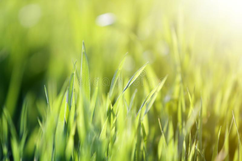Close up macro abstract image of bright fresh clean light green grass blades growing on blurred green bokeh grassy background on royalty free stock images