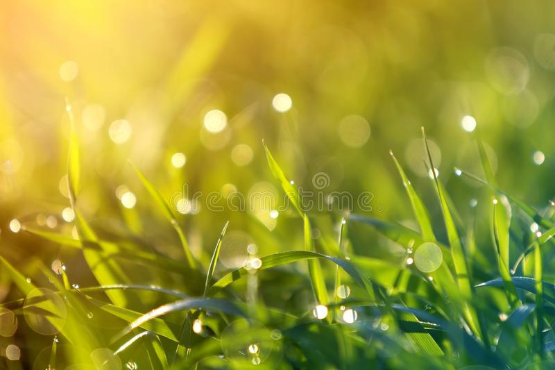 Close up macro abstract picture of lit by sun bright fresh clean light green grass blades growing on blurred bokeh background on stock photography