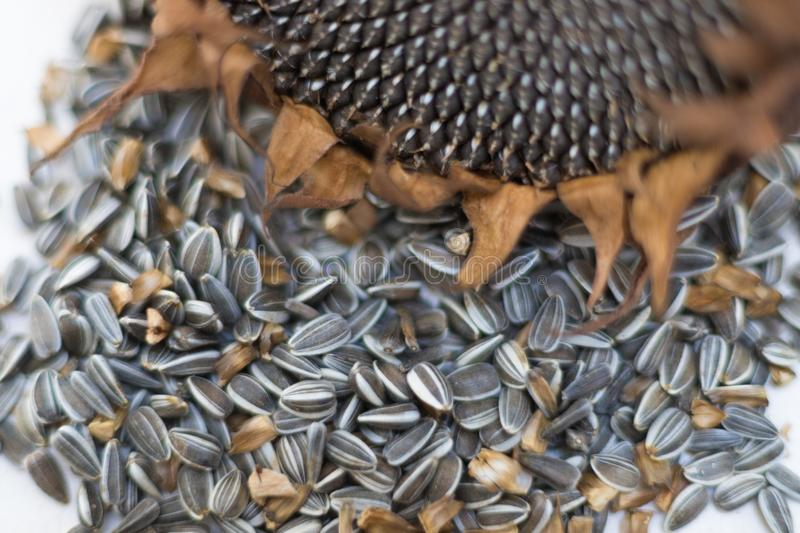 Close up macro sunflower seeds and head royalty free stock photo