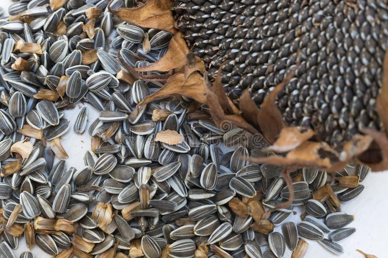 Close up macro sunflower seeds and head royalty free stock images