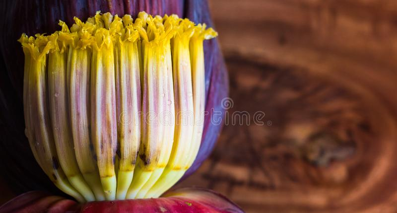 Close up macro of banana blossom mocha, flowers of unripe banana in wooden background with copy space for text. Close up macro of banana blossom mocha, flowers stock images