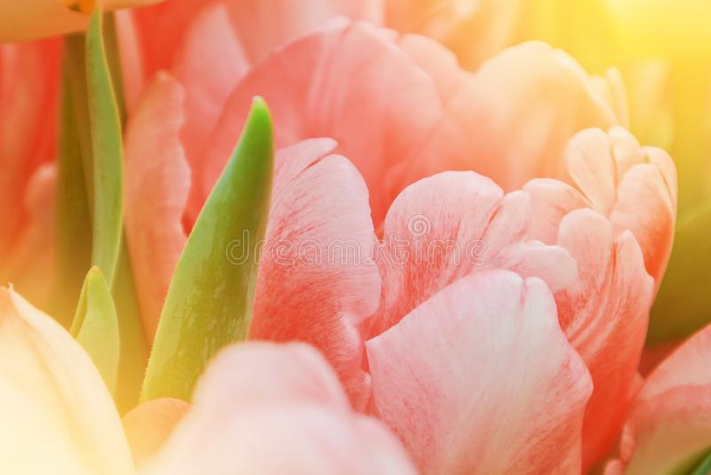 Close-up macro beautiful pink lush vibrant tulip petals and green leaves, spring flowers on soft focus blurred toned floral royalty free stock photo