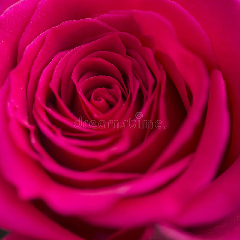 Close up macro of beautiful vibrant red rose royalty free stock photos