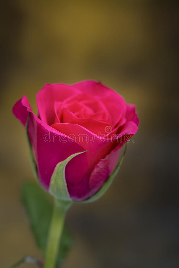 Close up macro of beautiful vibrant red rose stock photography