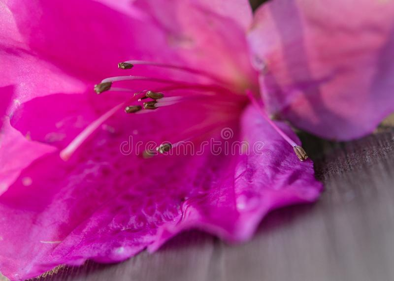 Close-up macro of bright pink tropical flower. With focus on stamen stock photos