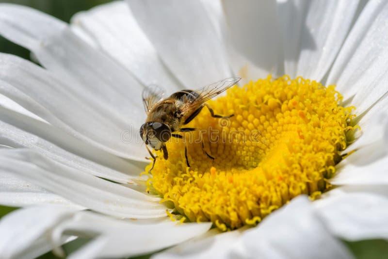close up macro da abelha do mel na flor branca foto de stock royalty free