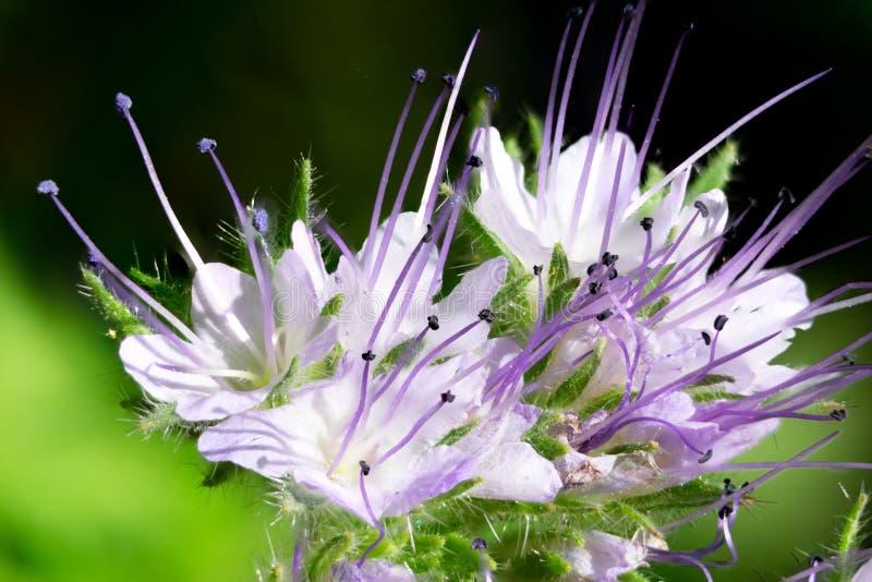 Close up macro da flor azul cor-de-rosa do tansy foto de stock royalty free