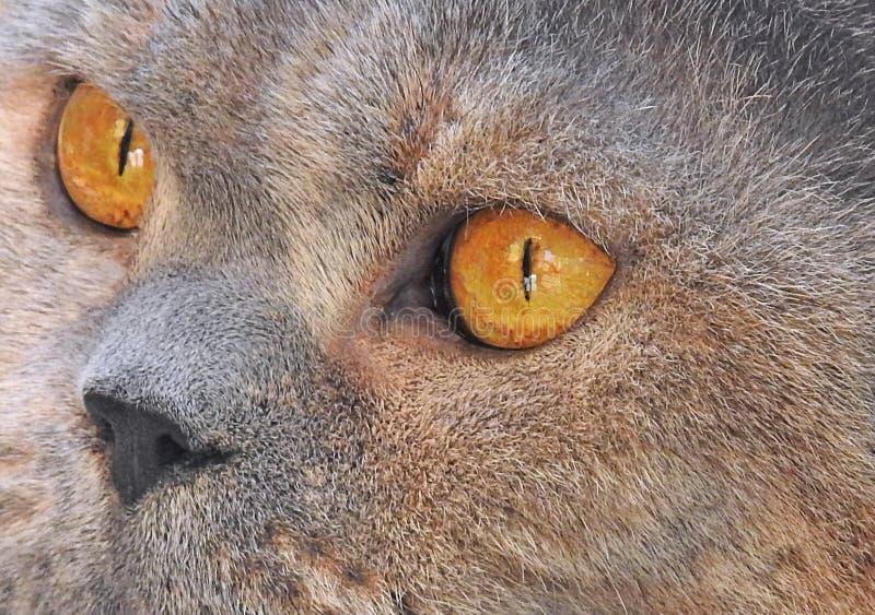 Close up macro de detalhes faciais do olho do shorthair de ingleses da pedigree foto de stock