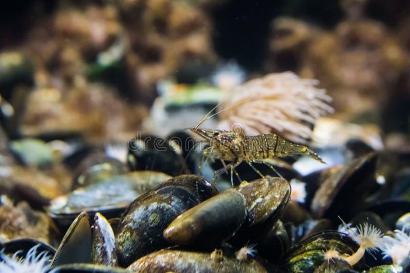 Close up macro de um camarão comum que está em alguns mexilhões fotografia de stock royalty free