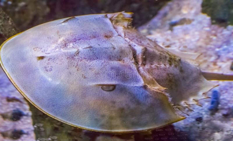 Close up macro de um chinês ou de um caranguejo em ferradura japonês um escorpião de água das águas asiáticas imagens de stock