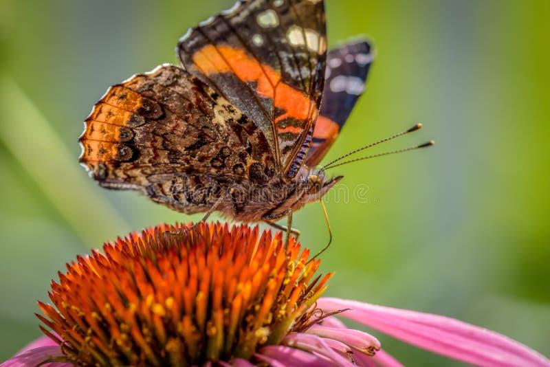 Close up macro de uma borboleta em um coneflower roxo no verão fotografia de stock royalty free