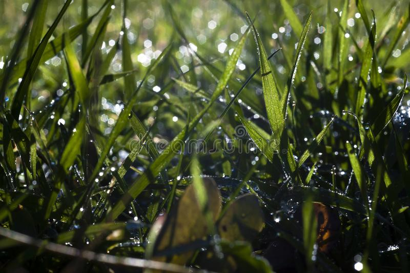 Close up, macro of dew drops on blades of fresh grass, morning rays of sun, water saving and green concept, save planet, blurred stock photo