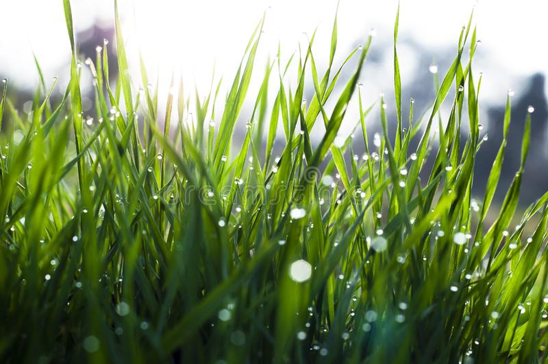 Close up, macro of dew drops on blades of fresh grass, morning rays of sun, water saving and green concept, save planet, blurred royalty free stock photography