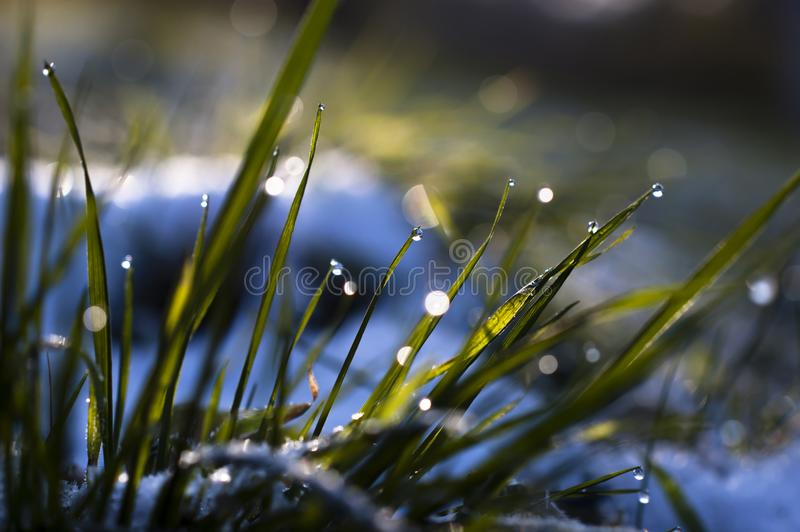 Close up, macro of dew drops on blades of fresh grass, morning rays of sun, water saving and green concept, save planet, blurred royalty free stock photo