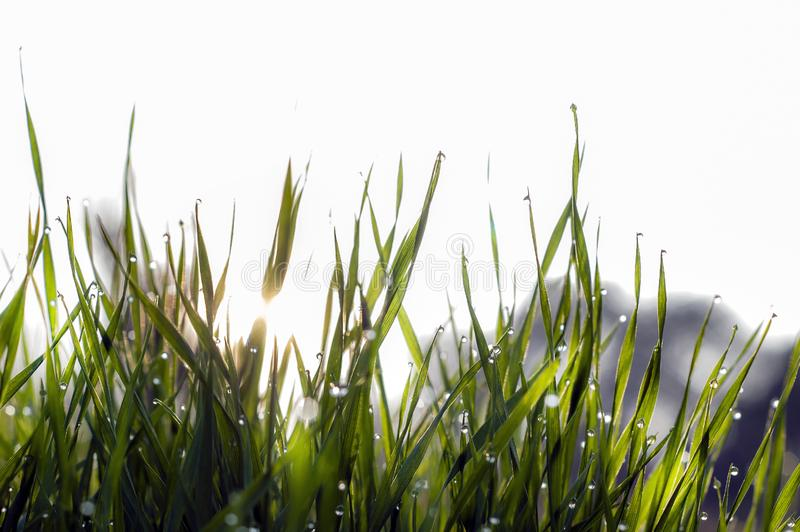 Close up, macro of dew drops on blades of fresh grass, morning rays of sun, water saving and green concept, save planet, blurred stock photography