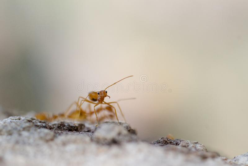 Close up macro disparado de formigas de um tecel?o foto de stock