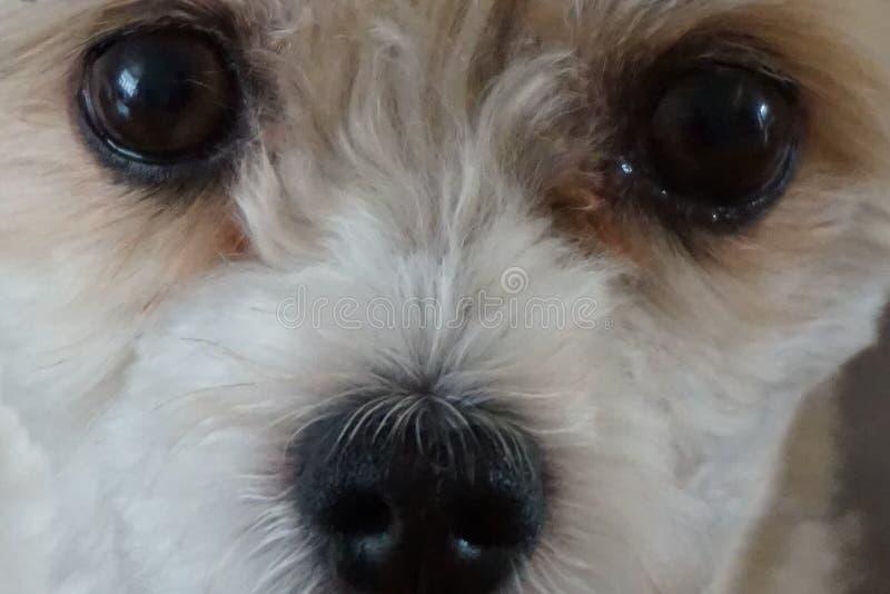 Close-up macro do cão tricolor bonito de Havanese fotos de stock royalty free
