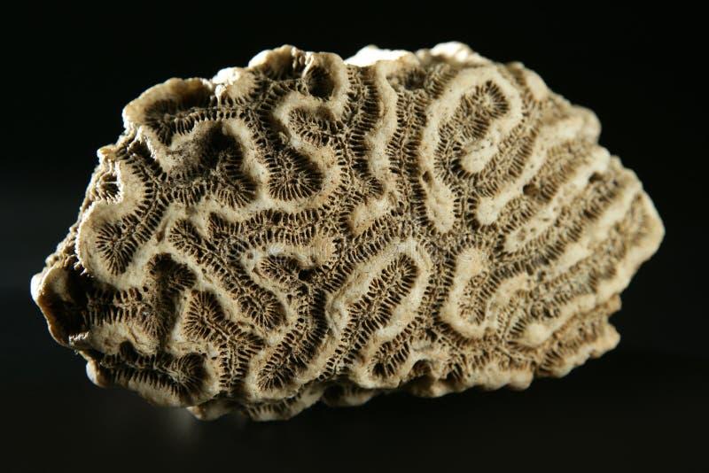 Close up macro do detalhe da pedra do coral de cérebro imagem de stock