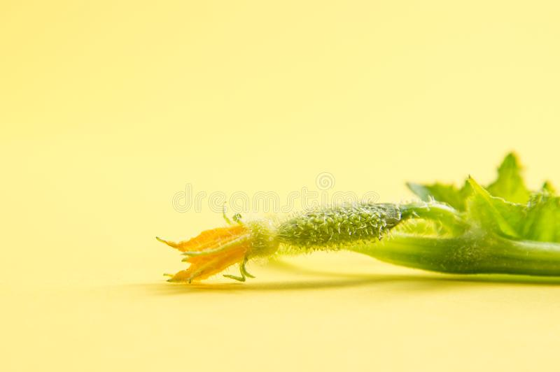 Close up, macro. Fragile green seedling cucumber. Orange flower at the end of the sprig. Yellow background stock photo