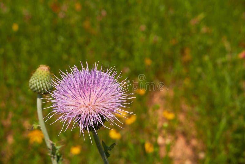 Close up macro of Isolated Beautiful Pink Texas Thistle bloom Cirsium texanum royalty free stock photos