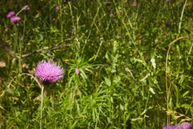 Close up macro of Isolated Beautiful Pink Texas Thistle bloom Cirsium texanum stock photos