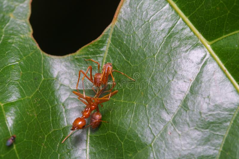 Close up macro jumping spider eats weaver ant, nature background. Insect and wildlife themes stock image