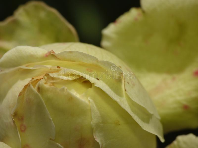 Close up macro photography of a yellow rose in flower detailed shot taken in the UK. Close up macro lens photography of a yellow rose in flower detailed shot royalty free stock images