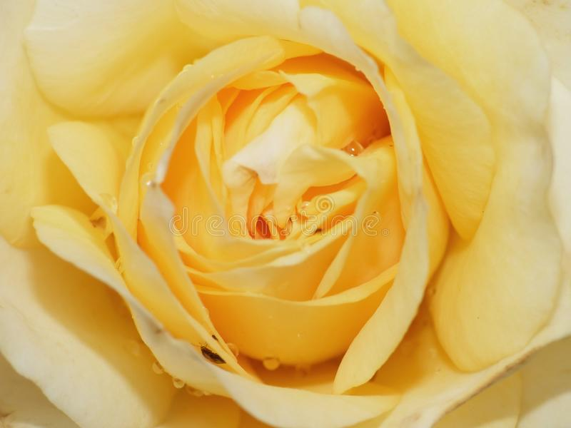 Close up macro photography of a yellow rose in flower detailed shot taken in the UK. Close up macro lens photography of a yellow rose in flower detailed shot stock photo