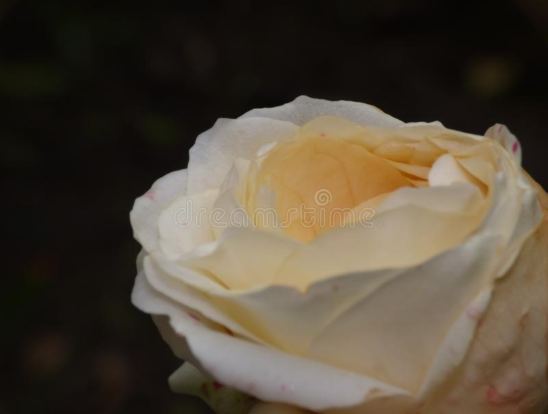 Close up macro photography of a yellow rose in flower detailed shot taken in the UK stock photos