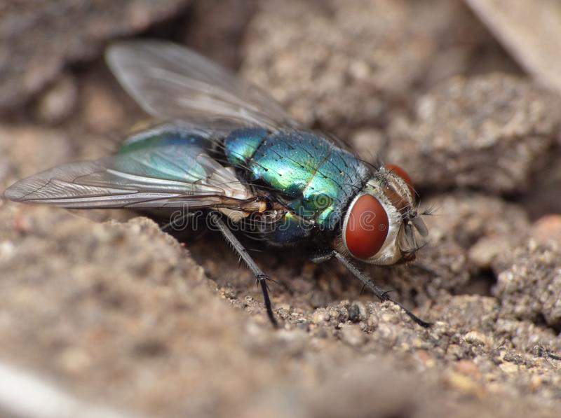Close up macro shot of a Blowfly Green / Blue in the garden, photo taken in the United Kingdom. Close up macro lens shot of a Blowfly Green / Blue in the garden stock images
