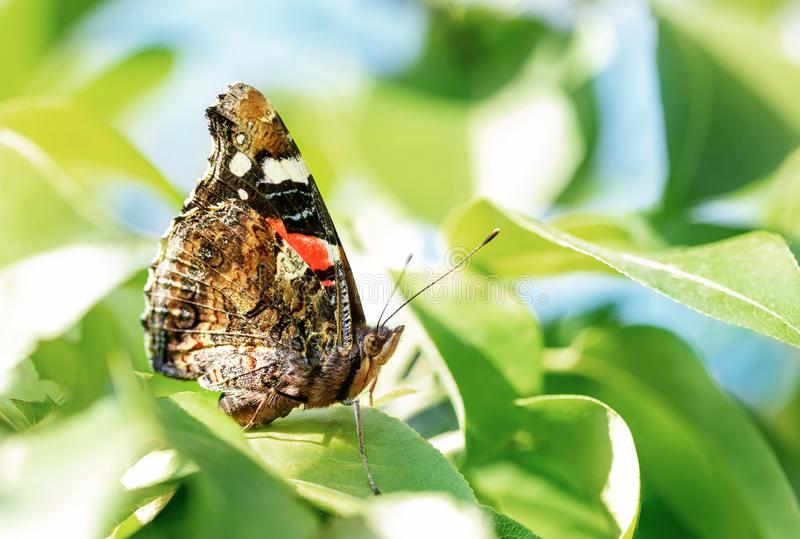 Close-up macro monarch butterfly on green leaves at fruit tree garden. Insect in orchard. Bright spring sunny day background. Nature, beautiful, beauty, animal royalty free stock photos