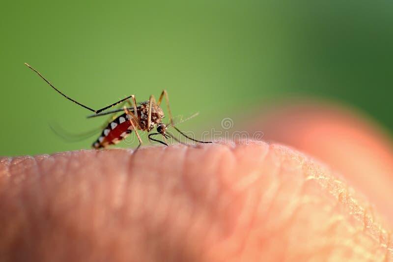 Mosquito bite hand. Close-up macro mosquito bite hand more detail royalty free stock photography