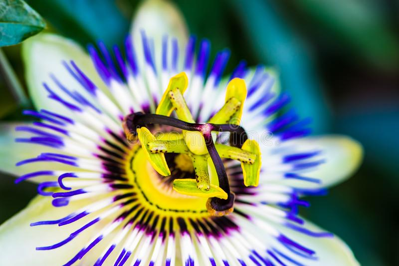 Macro color photo of passiflora caerulea. Close up macro photo of the common passion flower, passiflora caerulea in vibrant colors royalty free stock images