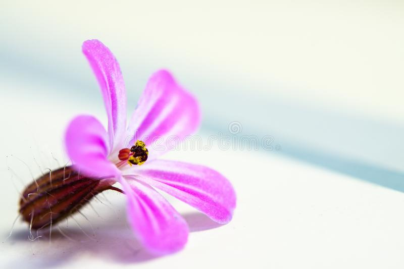 A close up macro photo of a small pink flower with pollen on a white background with copy space for design. Or text stock image