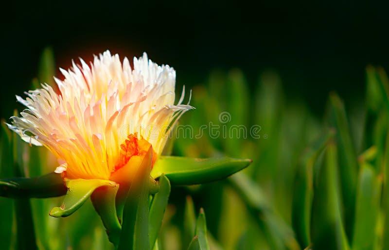 Close up  photo of white Gazania flower on the black ground. Close up  or macro photo of white Gazania flower on the black ground stock photos