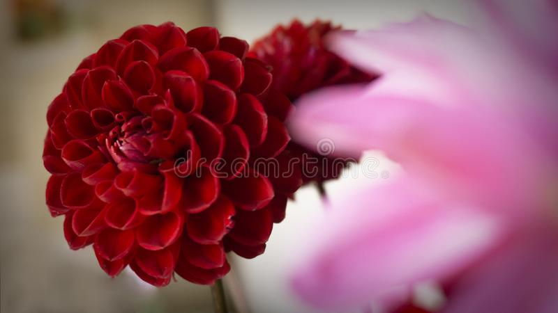 Close up macro pink and red dahlia flower. Macro photography. Pink purple flower`s tenderness royalty free stock photos